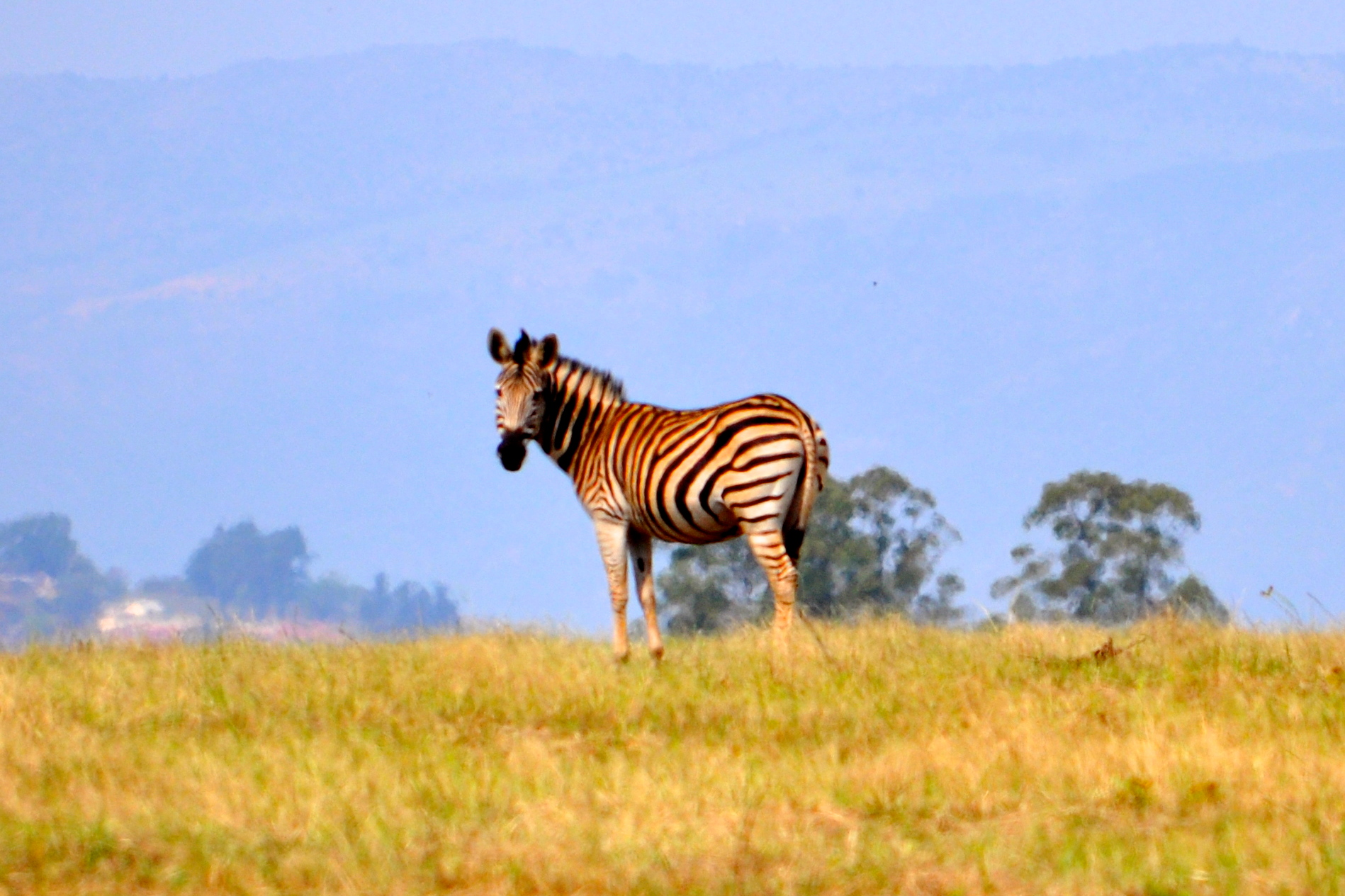 Image of a zebra