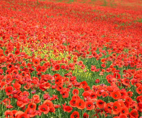 A field of poppies representing Remembrance Day