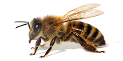 Unwanted Bees and Bee Removal - American Beekeeping Federation