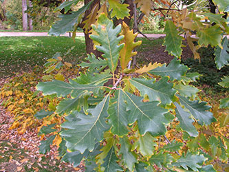 Figure 1. Swamp white oak (Quercus bicolor) foliage just beginning to develop fall color which will typically be yellow to orange-yellow; like all of the oaks native to the Upper Midwest, swamp white oak is one of our premier shade tree species and, though planted more often than they once were, should still be planted more often than it is (Photo Credit: Jim Calkins).