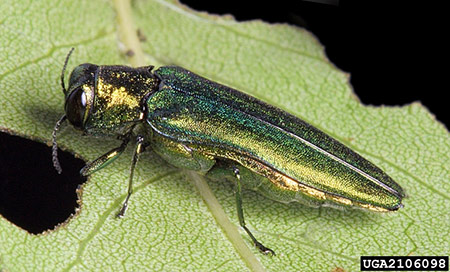 "Emerald ash borer (EAB; Agrilus planipennis) adult; in Minnesota, EAB adults emerge from infested ash trees from May until August leaving behind small (1/8""), D-shaped exit holes in the bark of the tree (Photo Credit: David Cappaert, Michigan State University, Bugwood.org)."