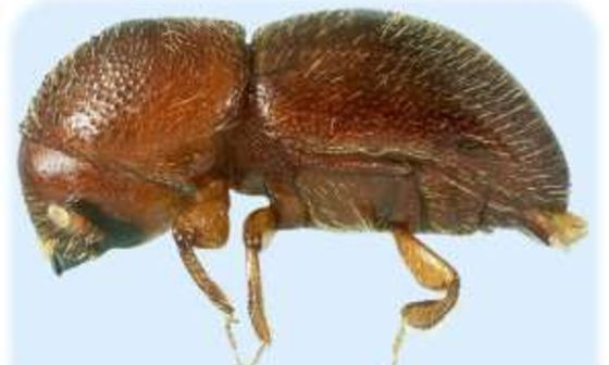 Ambrosia Beetles in the News