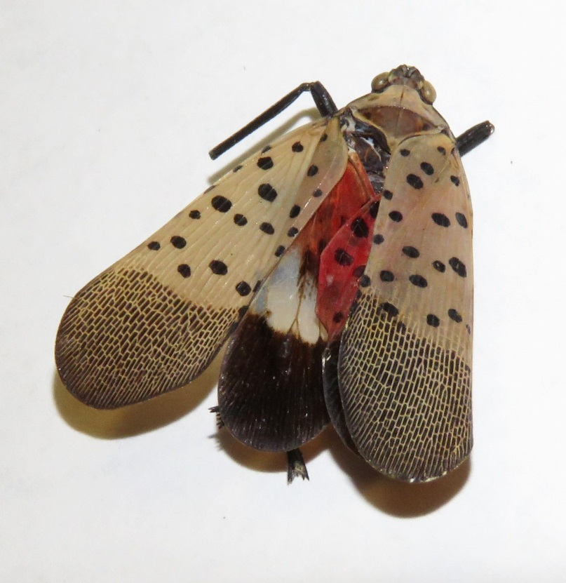 spotted lanternfly, invasive insect
