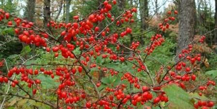 barberry named invasive and can no longer be sold in Maine starting in 2018