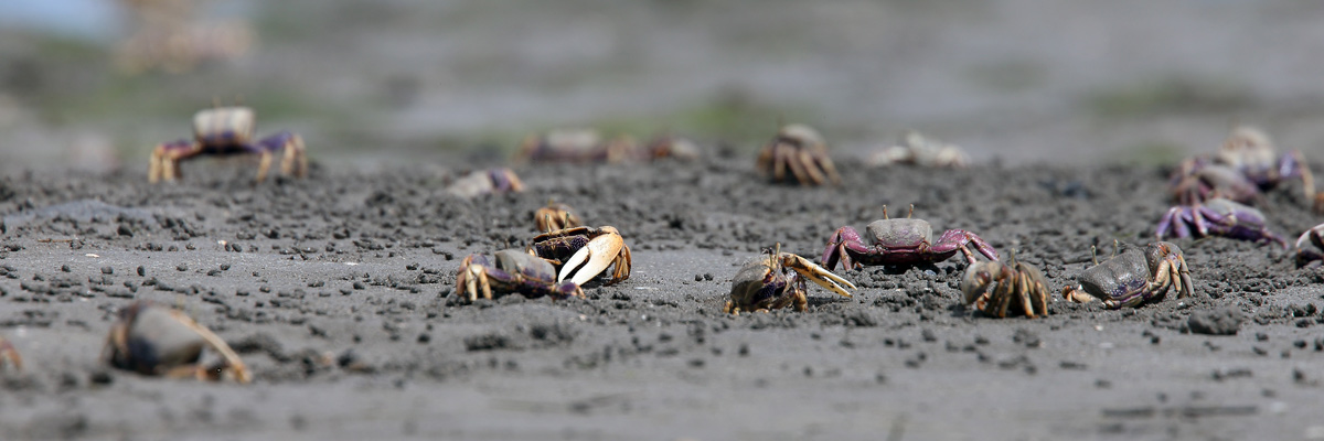crabs on dark beach