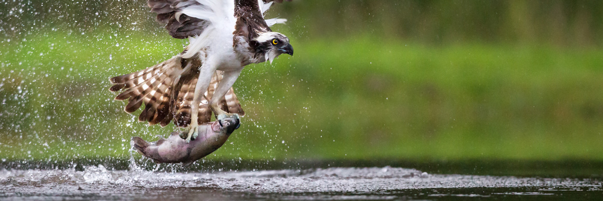 Osprey snatching big fish from water